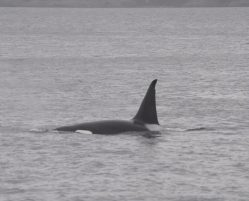 Video: Orcas in Howe Sound!