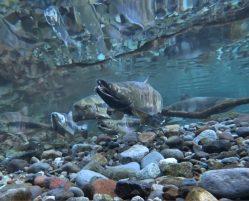 Chum Salmon Spawn